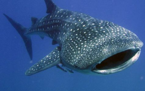 The Monthly Bite: Whale Shark