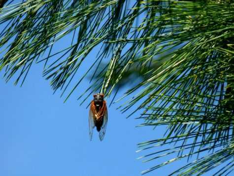 Gross Cicada