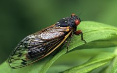 Are Cicadas a Nuisance or a Benefit?